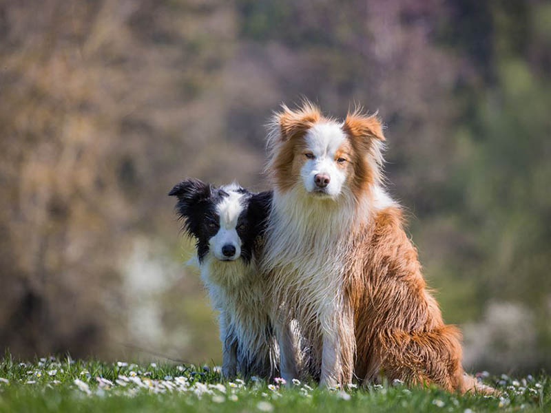 hundeschule-susanne-kohler-bühlerzell - man sieht zwei hunde nebeneinander in der frühlingswiese sitzen