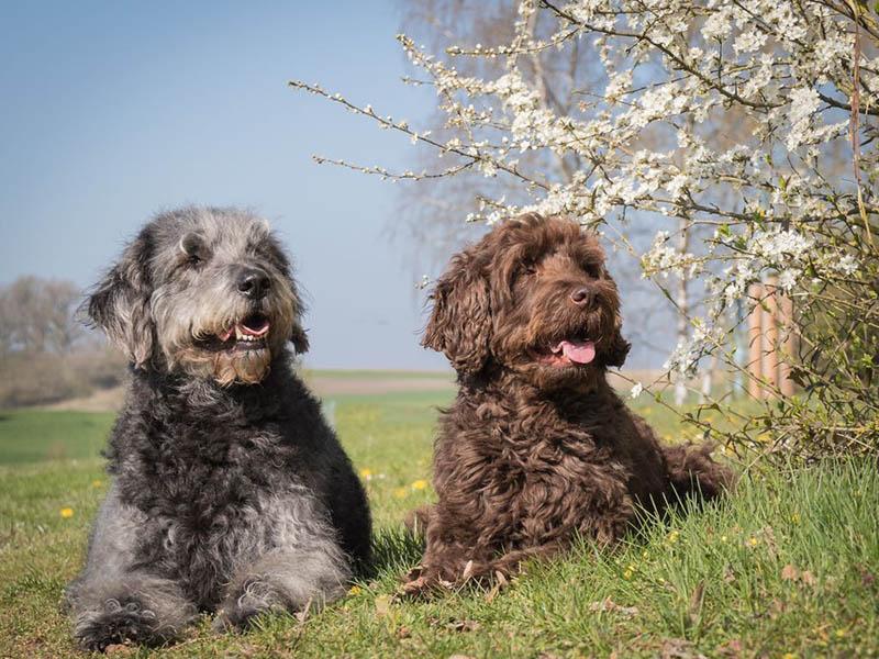 hundeschule-susanne-kohler-bühlerzell - man sieht zwei hunde nebeneinander in der frühlingswiese liegen