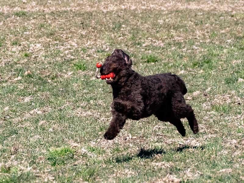 hundeschule-susanne-kohler-bühlerzell - ein hund springt freudig über eine wiese mit einem spielzeug im maul