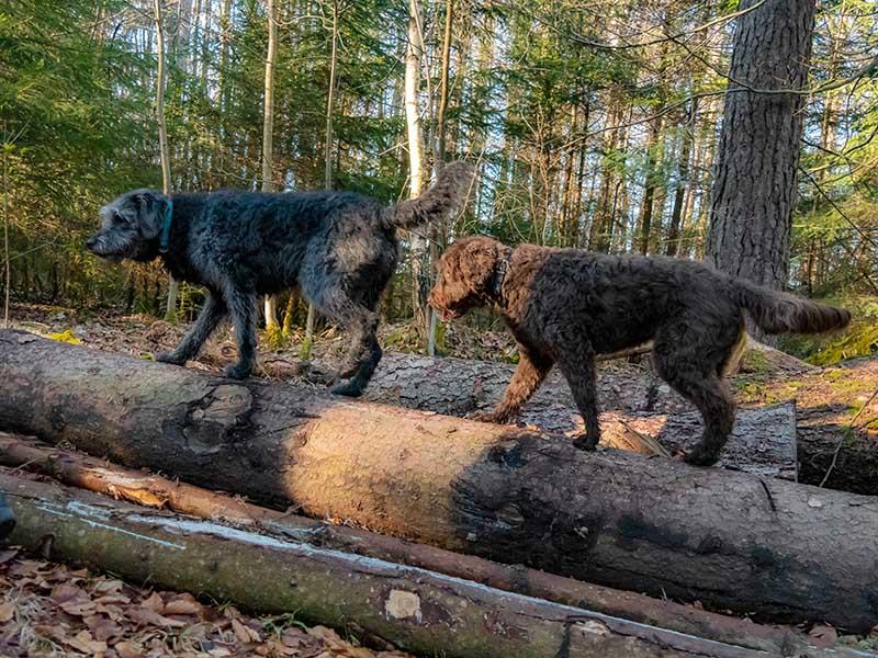 hundeschule-susanne-kohler-bühlerzell - zwei hunde balancieren über liegende baumstämme im wald