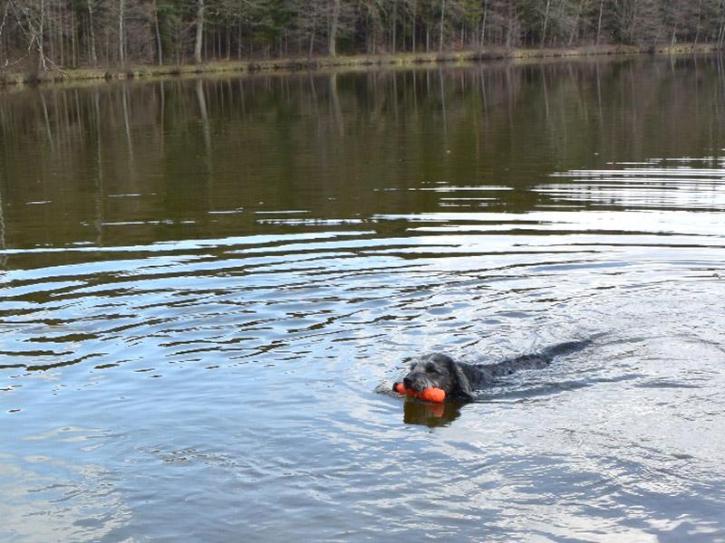 hundeschule-susanne-kohler-bühlerzell - ein hund schwimmt in einem waldsee und hält einen roten dummy im maul