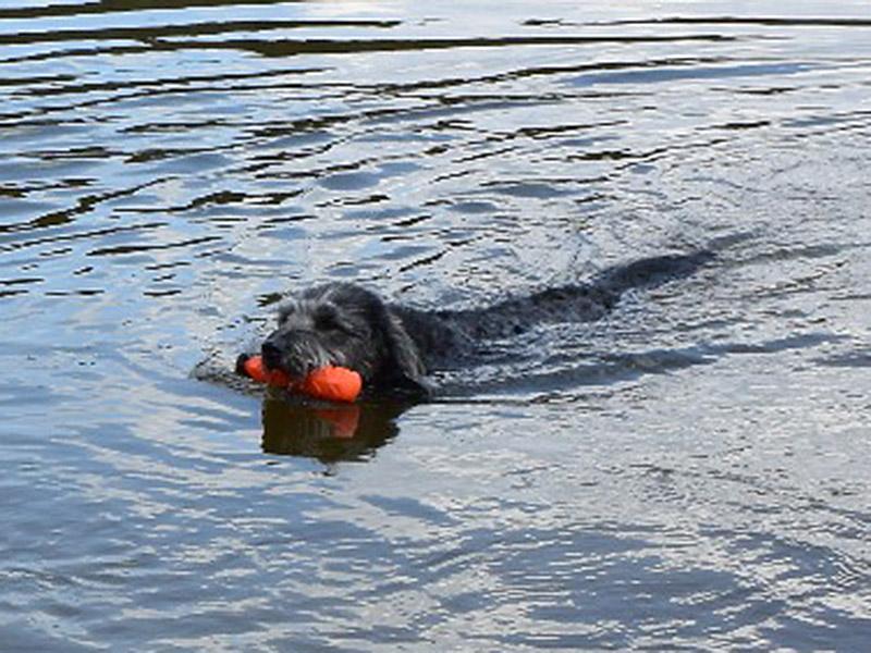 hundeschule-susanne-kohler-bühlerzell - ein hund schwimmt in einem see mit einem roten dummy im maul