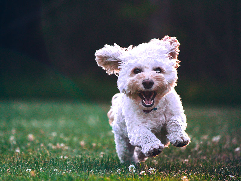 hundeschule-susanne-kohler-bühlerzell - ein welpe rennt freudig über die wiese mit gänseblümchen